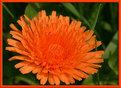 Picture Title - red dandelion
