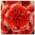 Picture Title - Carnation