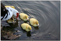 Picture Title - Ducklings I