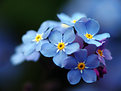 Picture Title - Forget-me-not's 2