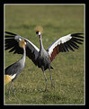 Picture Title - Grey Crowned Crane Dancing