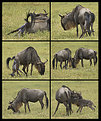 Picture Title - Wildebeest Birth