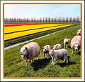 Picture Title - Typical Holland 2
