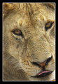 Picture Title - Lion – an Intimate Portrait
