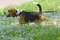 Picture Title - Beagle