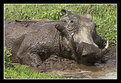 Picture Title - Male Warthog Mud Bath