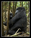 Picture Title - Mother and Baby Mountain Gorilla
