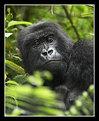 Picture Title - Adult Female Mountain Gorilla