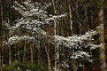 Picture Title - dogwood