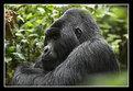 Picture Title - Silverback Mountain Gorilla
