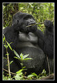 Picture Title - Silverback Mountain Gorilla Eating