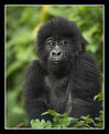 Picture Title - Infant Mountain Gorilla