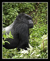 Picture Title - Silverback Mountain Gorilla Standing