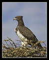 Picture Title - Martial Eagle