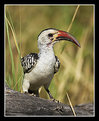 Picture Title - Red-Billed Hornbill