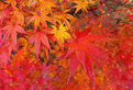 Picture Title - Japanese Autumn