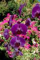 Picture Title - Orchid & Bougainvilla