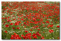 Picture Title - Poppies rule