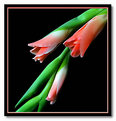 Picture Title - arching gladioli