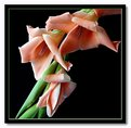 Picture Title - arching gladioli #2