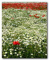 Picture Title - Poppies row