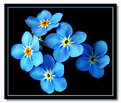 Picture Title - forget me ..forget me not