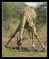 Picture Title - Cape Giraffe Drinking
