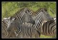 Picture Title - Common Zebra Cluster