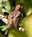 Picture Title - Baby robin