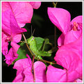 Picture Title - Mr. Green Grasshopper