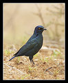 Picture Title - Cape Glossy Starling