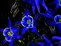 Picture Title - Blue Columbines (Aquilegia caerulea)