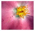 Inside of the Wild Rose