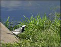 Picture Title - the wagtail
