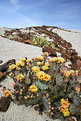 Picture Title - Prickly Pear in Bloom