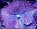 Picture Title - - hydrangea -