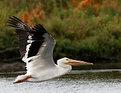 Picture Title - American white pelican