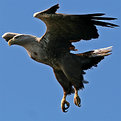 Picture Title - White tailed eagle