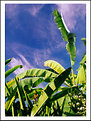 Picture Title - Banana Sky