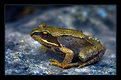 Picture Title - Golden Frog