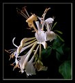 Picture Title - honeysuckle