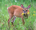 Picture Title - DOe with Flower