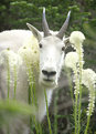 Picture Title - Mountain Goat