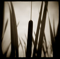 Picture Title - reeds