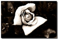 Picture Title - Weathered Roses