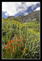 Picture Title - Paintbrush and Alpine Goldenrod