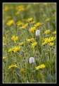 Picture Title - American Bistort among Golden Aster