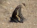 Picture Title - Black Swallowtail (Papilio polyxenes Fabricius)