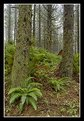 Picture Title - Evergreen Forest with Ferns