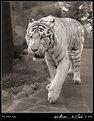 Picture Title - the white tiger